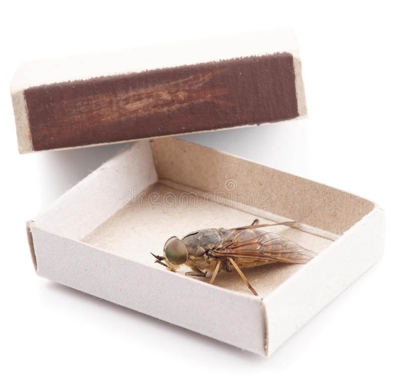 Live horsefly sitting in matchbox isolated. On white background stock images