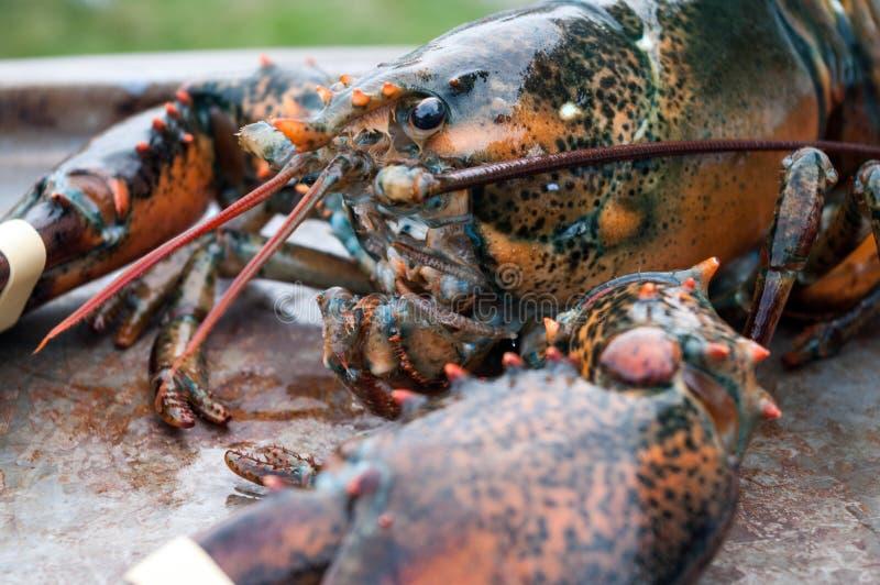 Live Lobster fotografia stock