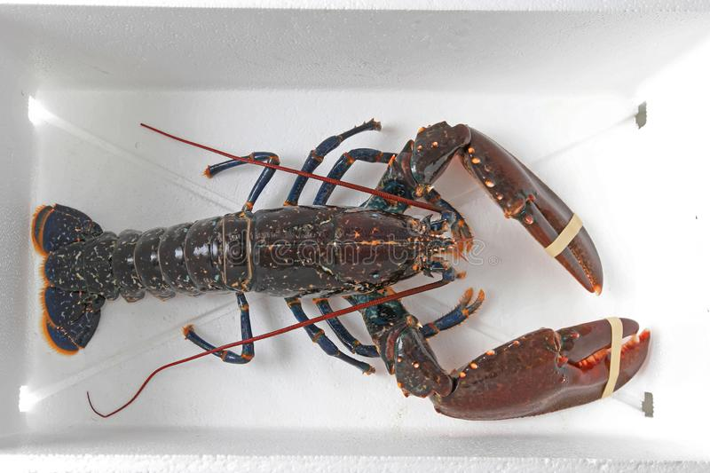 Live Lobster imagem de stock royalty free