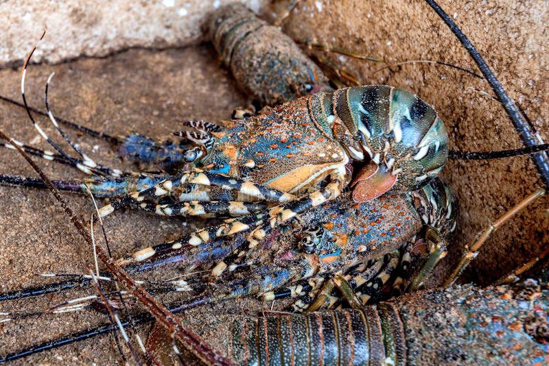 Live lobster at fishmarket stock photo