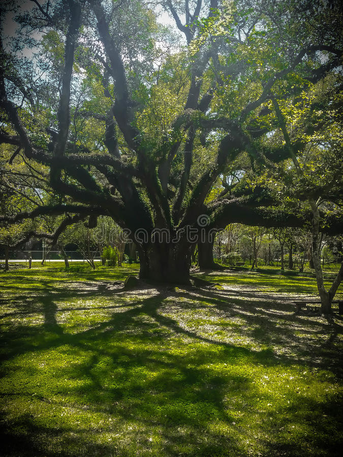 Live Oak royalty-vrije stock foto