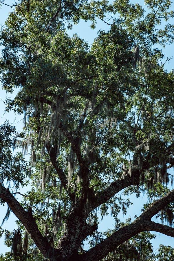 Live Oak com a árvore do musgo espanhol em Bonaventure Cemetery Savannah Georgia imagens de stock royalty free