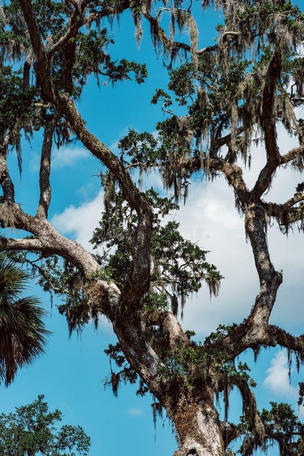 Live Oak com a árvore do musgo espanhol em Bonaventure Cemetery Savannah Georgia imagem de stock