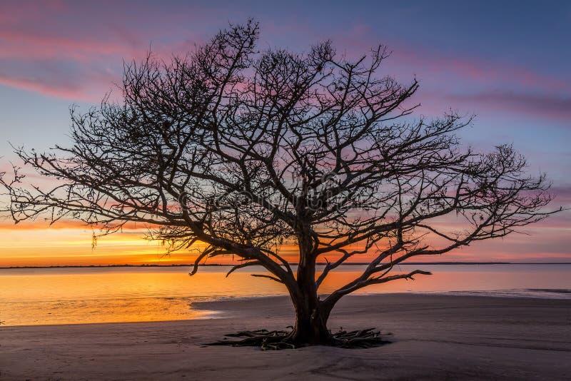 Live Oak Drzewny dorośnięcie na Gruzja plaży przy zmierzchem zdjęcia stock