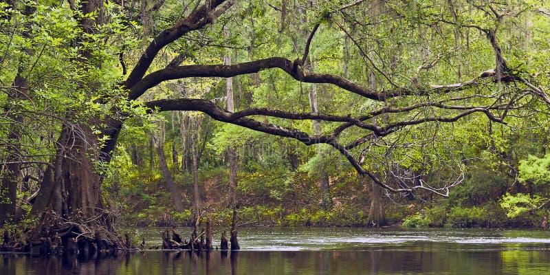 Live Oak op Santa Fe River stock fotografie