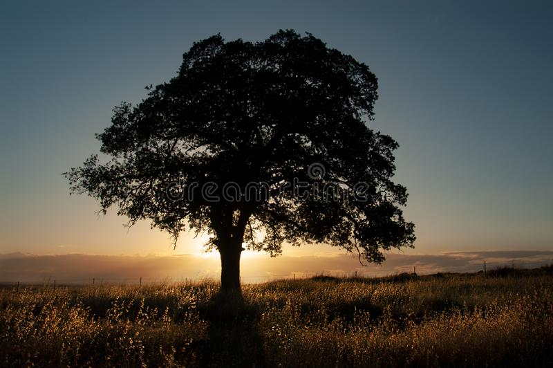 A live oak is silhouetted in front of the golden light of sunset. A live oak is silhouetted in front of the golden light of sunset with backlit grasses in Upper stock photo