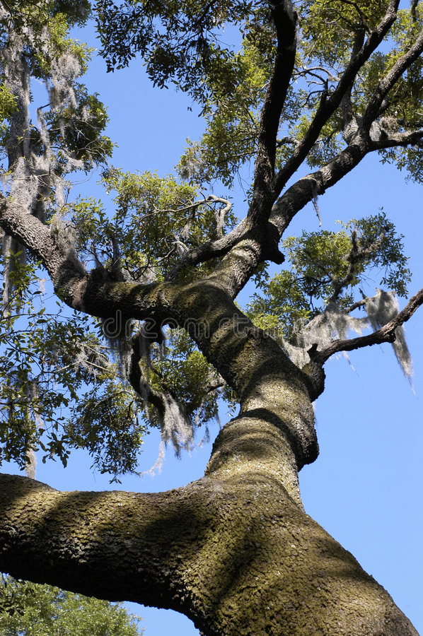 Live Oak Tree stock photo