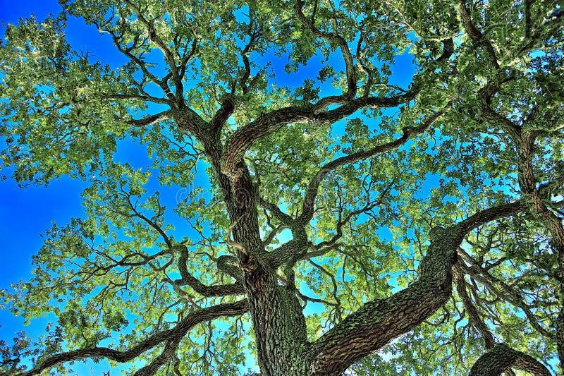 Live Oak Tree fotografia stock