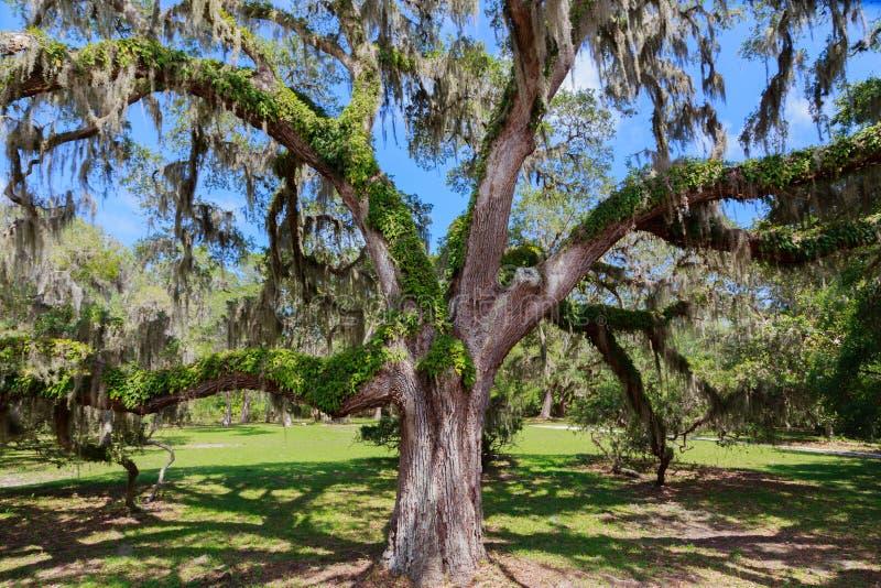Live Oak Tree del sud immagine stock libera da diritti