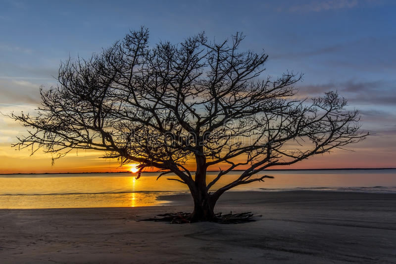 Live Oak Tree Growing on a Georgia Beach at Sunset stock image