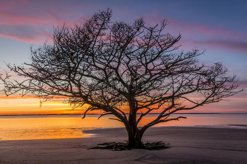 Live Oak Tree Growing sur Georgia Beach au coucher du soleil photos stock