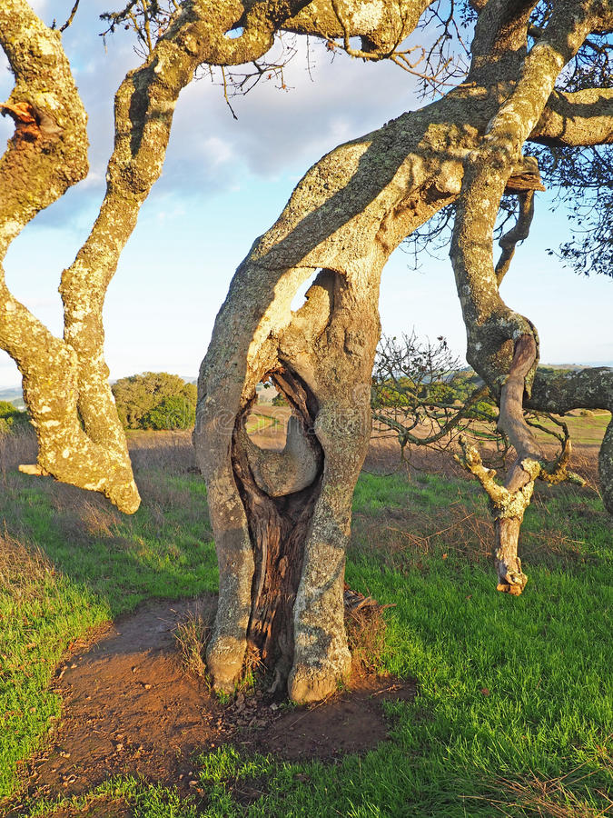 Live Oak Tree at Helen Putnam Park. Early rains bring autumn green to the hills outside Petaluma, California. A beautiful fall afternoon at Helen Putnam State stock images