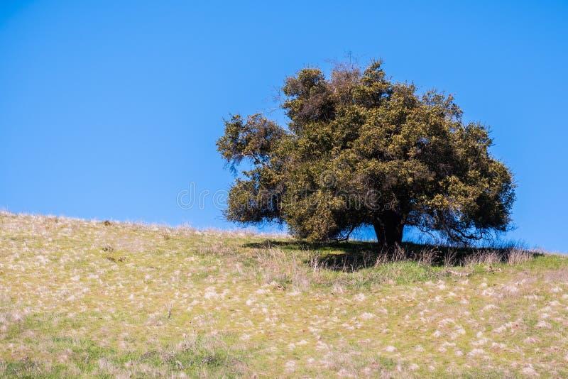 Live oak tree on a hill stock photos