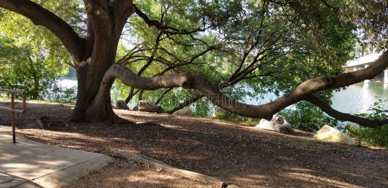 Live Oak Tree royalty-vrije stock fotografie