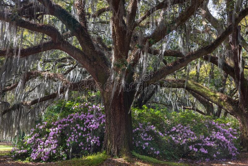 Live Oak Tree y azaleas florecientes foto de archivo libre de regalías