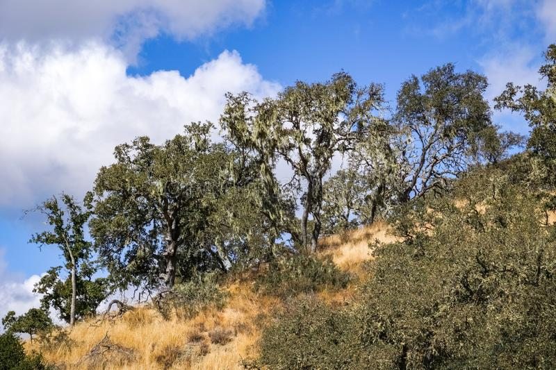 Live Oak trees covered in California`s State Lichen Lace lichen; Ramalina Menziesii, Henry W. Coe State Park, California royalty free stock photos