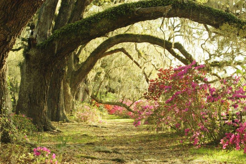 Live Oak Trees grande proporciona la espada a las plantas coloridas de la azalea en la plantación meridional en primavera imagen de archivo