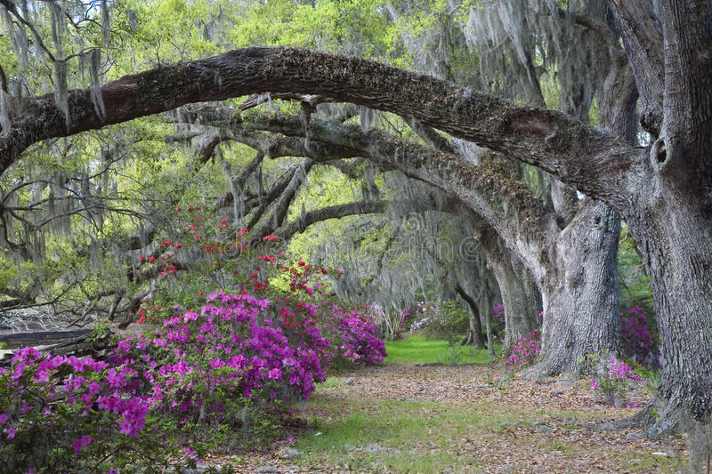 Live Oaks and colorful azalea royalty free stock photography