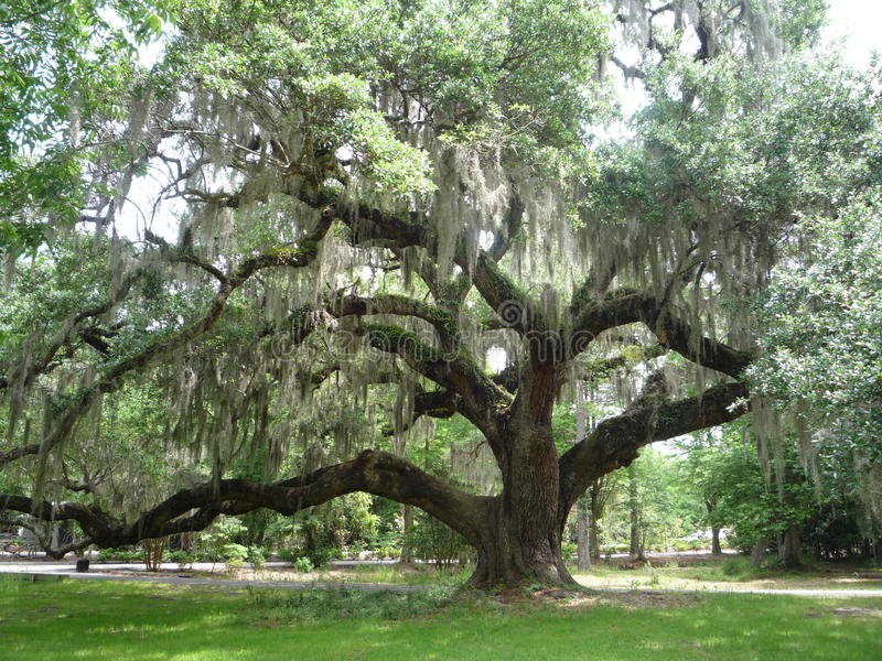 Live Oak Tree stock image