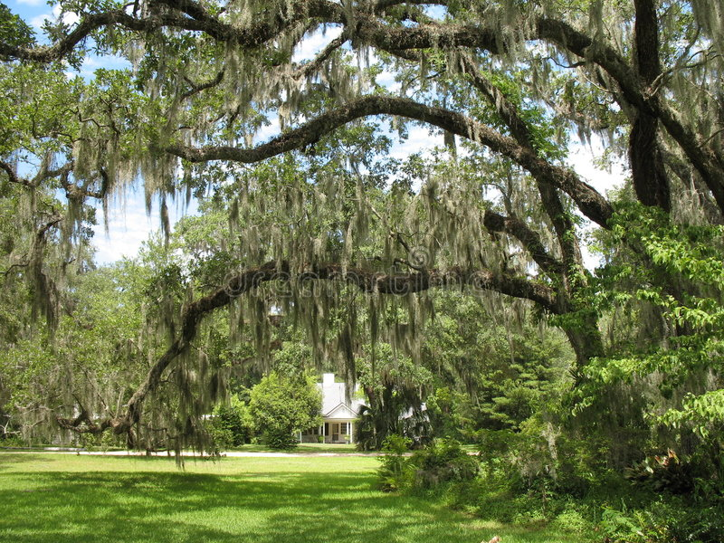 Download Live Oaks and Spanish Moss stock photo. Image of trail - 5961626