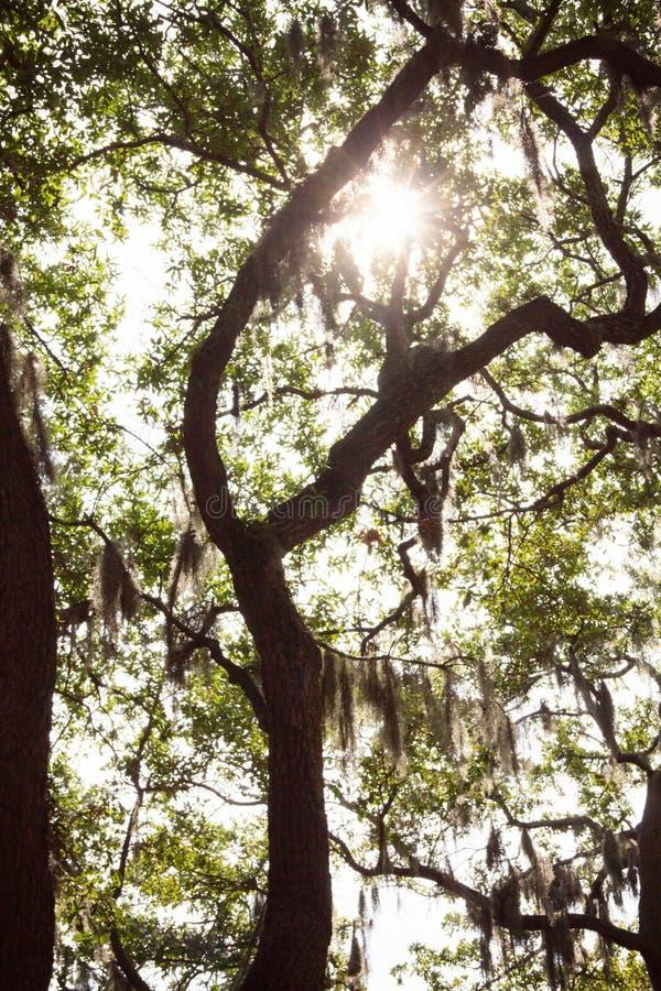 Live Oka Tree in Savannah, GA. Sun shining through moss on a Live Oak tree in historical Savannah, Georgia royalty free stock image