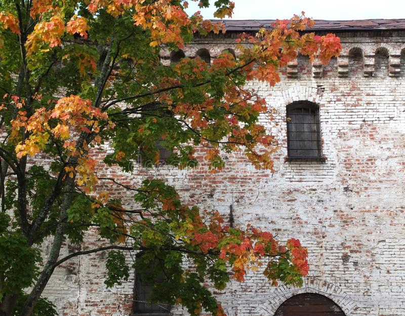 The multicolor tree and the red brick wall with windows. The live orange-green maple and the red brick wall with windows stock photos