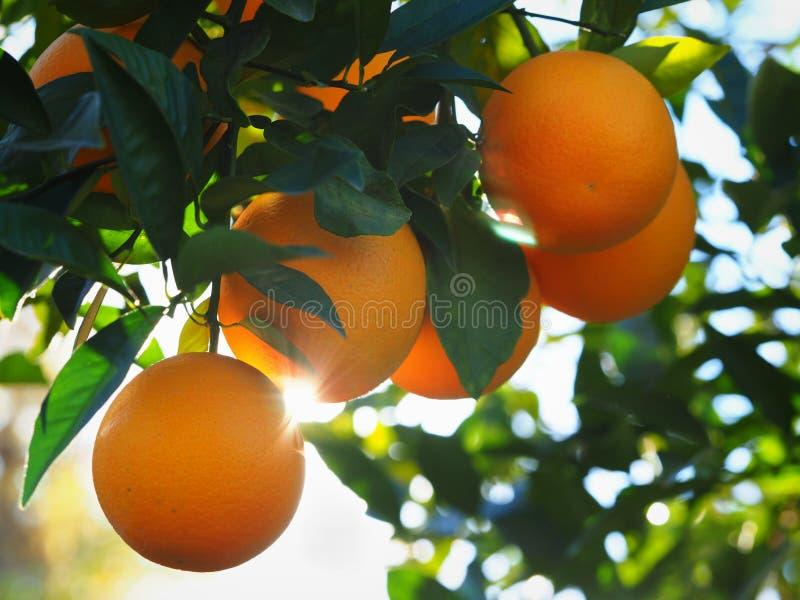 Live Orange Tree med mogna Valencia Oranges royaltyfria bilder