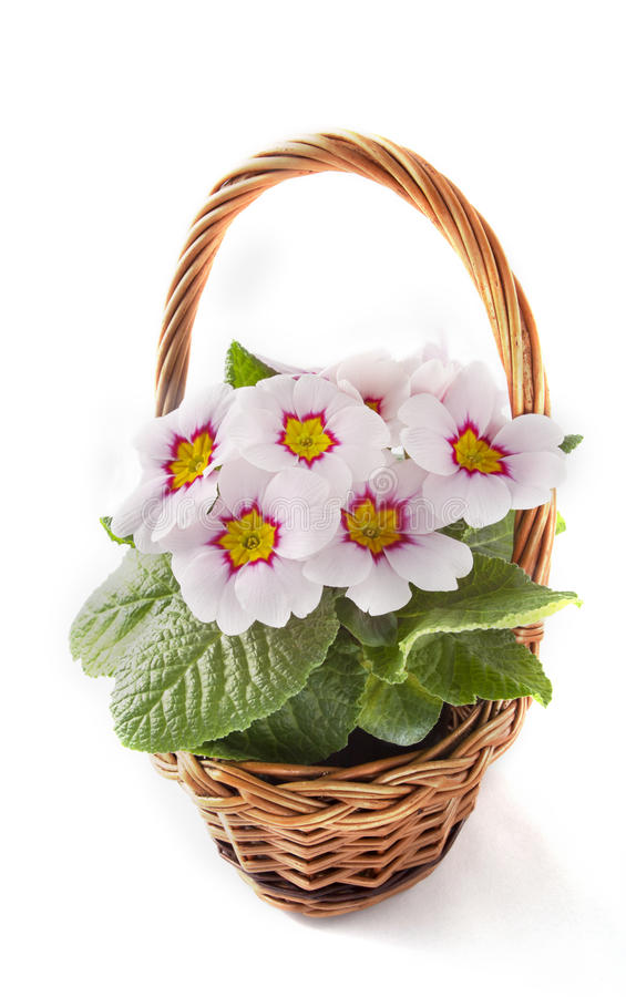 Free Live Primrose In A Decorative Basket Royalty Free Stock Photos - 38858248