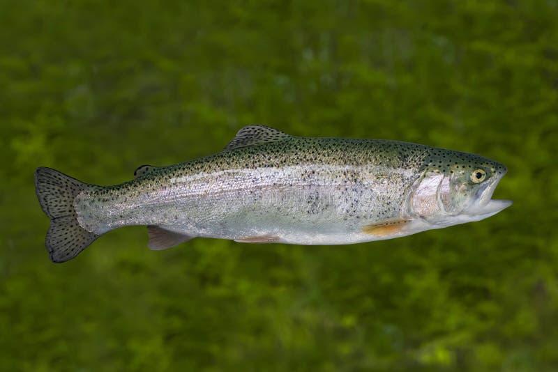 Live Rainbow-Forellenfische lokalisiert auf natürlichem grünem Hintergrund stockfoto