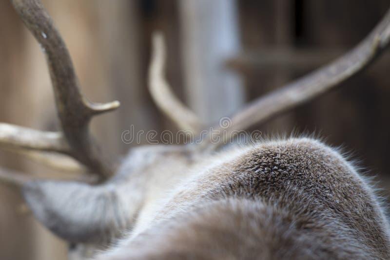 Live reindeer skin stock photos