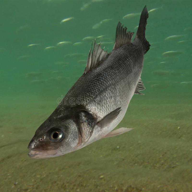 Live sea bass fish. Close to the seabed stock photo