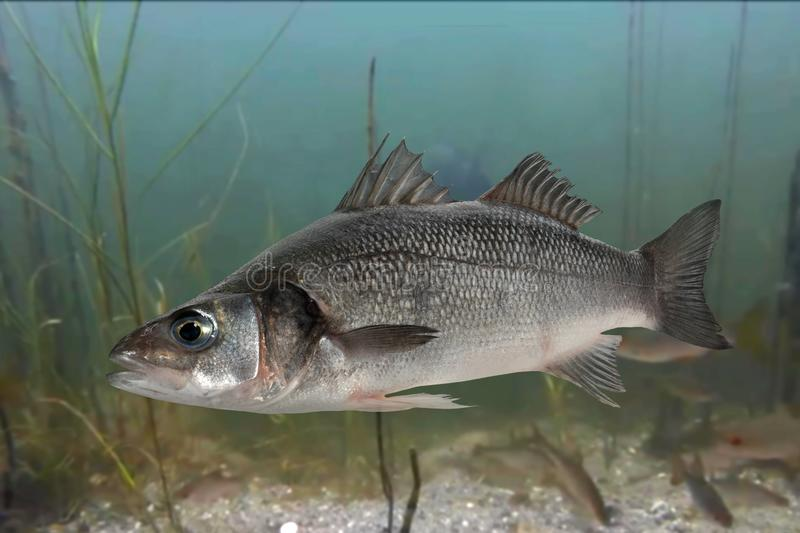 Live sea bass fish stock photography