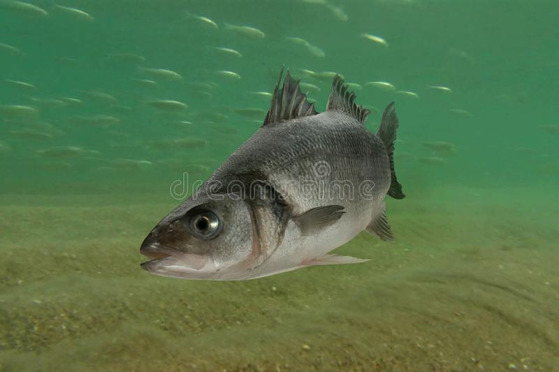 Live sea bass fish stock images