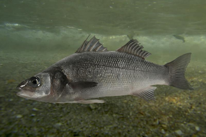Live sea bass fish. Close to the seabed royalty free stock photo