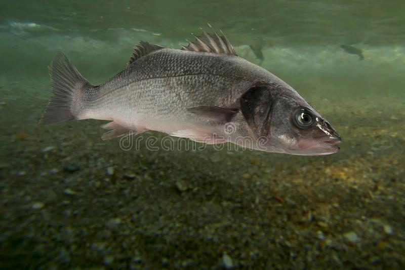 Live sea bass fish. Close to the seabed stock photos