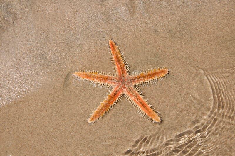 Live Sea-ster in het zand royalty-vrije stock afbeelding