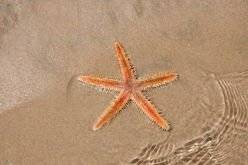 Live Sea stjärna i sanden royaltyfri bild