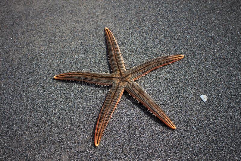 Live Starfish lizenzfreie stockfotos