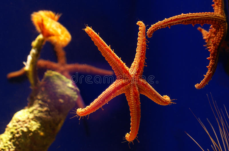 Live Starfish In The Water Royalty Free Stock Photography