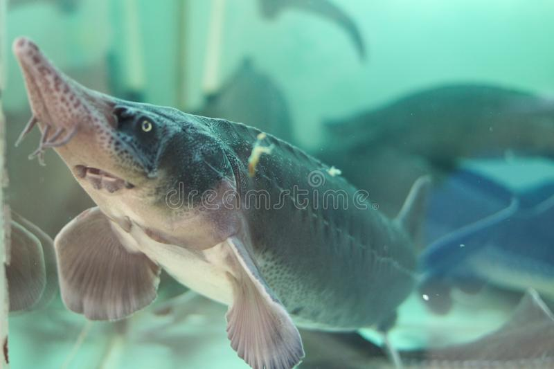 Live sturgeon in the water. Live sturgeon in the aquarium on the market royalty free stock image