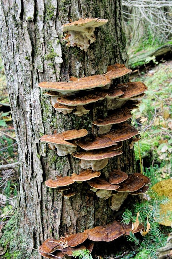 Live tree avec le champignon d 39 arbre image stock image 46903693 - Champignon sur tronc d arbre ...