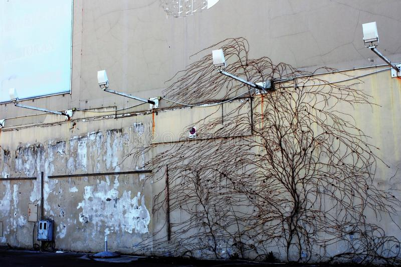 Live tree climbing at the wall. In the center of the city royalty free stock photos