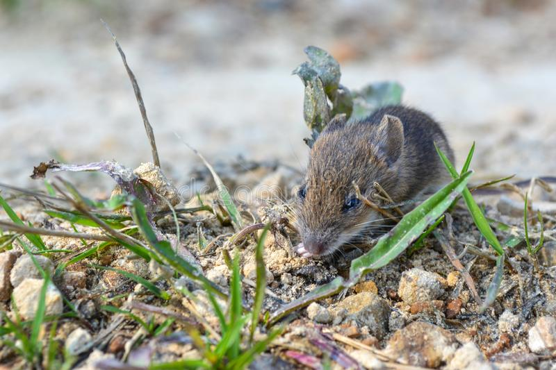 Live, wild mouse on the ground, on the path near the house royalty free stock image