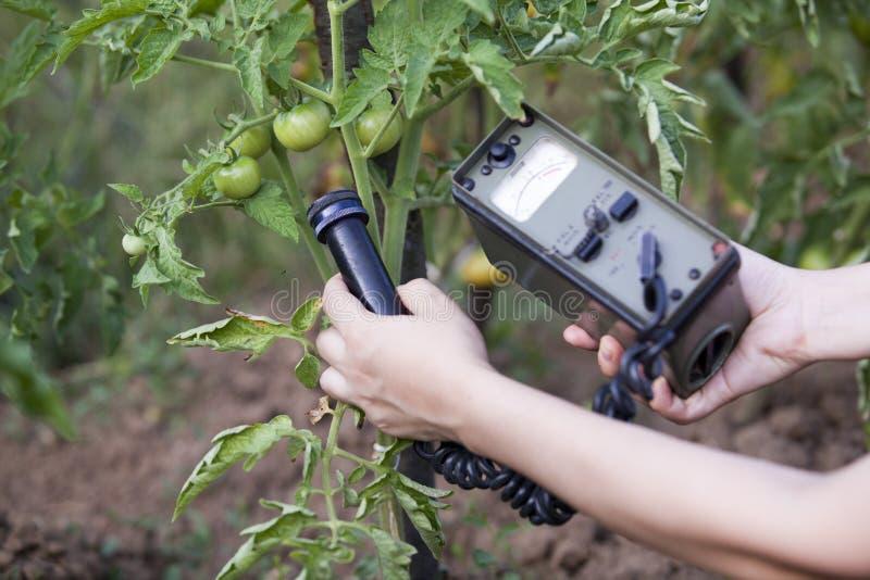 Livelli di radiazione di misurazione di pomodoro immagine stock