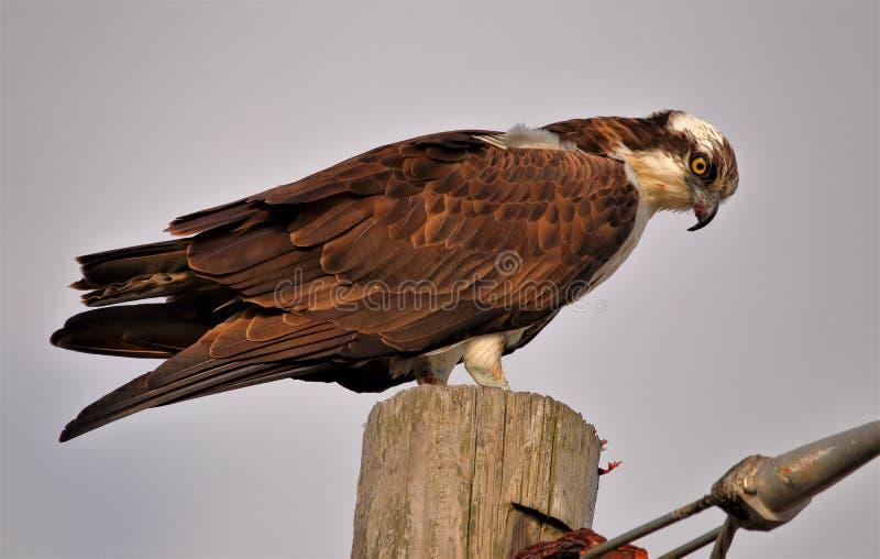 Livello appollaiato falco pescatore sopra la regione paludosa fotografia stock
