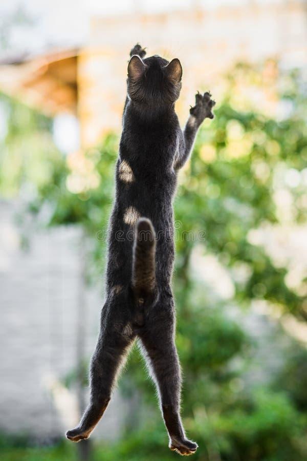 Livello russo di volo del gatto blu nel salto, cercante inseguendo gli uccelli fotografia stock libera da diritti