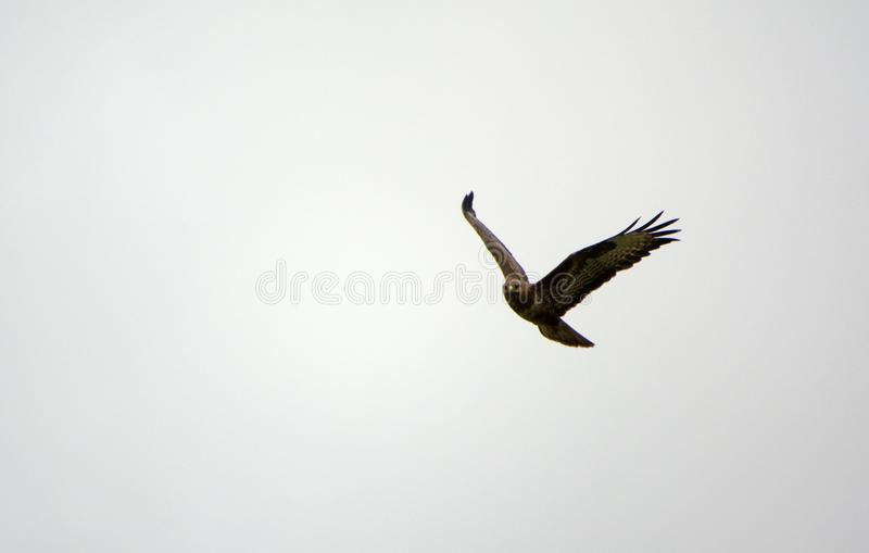 Livello scivolante di Marsh Harrier fotografia stock libera da diritti