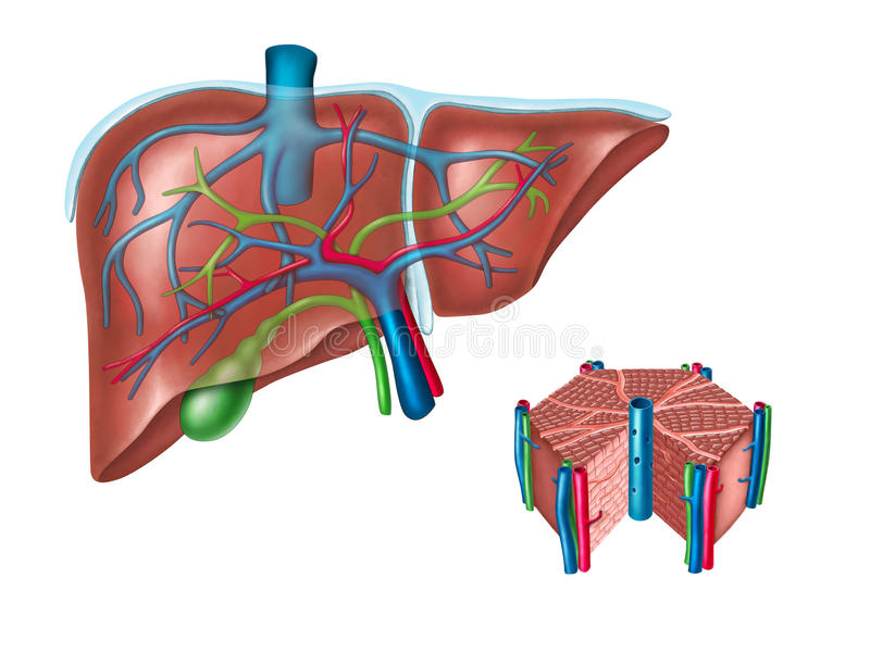 Liver anatomy. Human liver and hepatic cell diagram. Digital illustration vector illustration