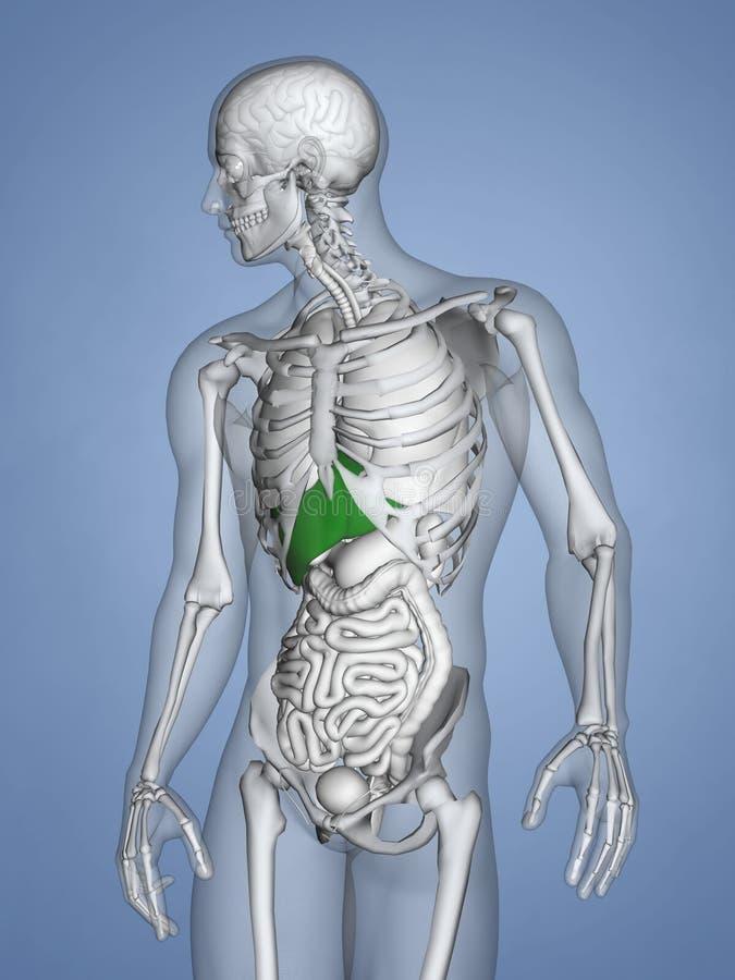 Liver, 3D Human Model. Liver, 3D Model, Human Body with Skeleton, Blue Background stock illustration