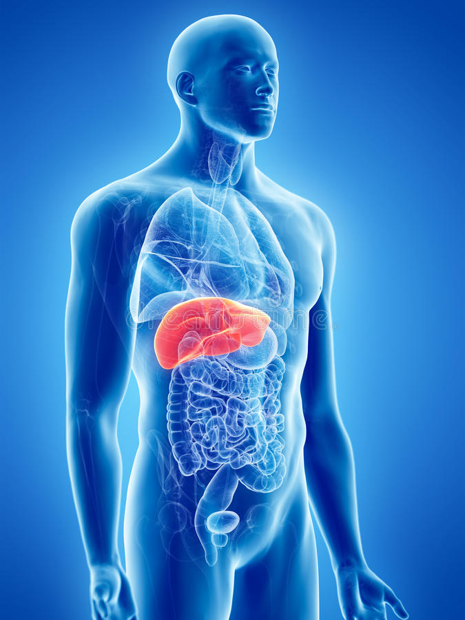 The liver. 3d rendered, medically accurate illustration of the liver vector illustration
